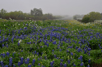 Texas Wildflowers for 2012