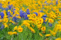 Blue and Gold Wildflower Gallery