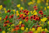 Red and Gold Wildflower Gallery