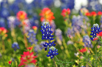 Texas Wildflowers for 2010